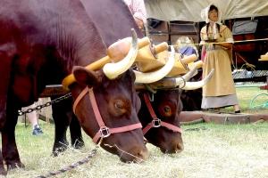 Closeup-Ox-Feeding