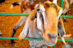 Goat-Upclose